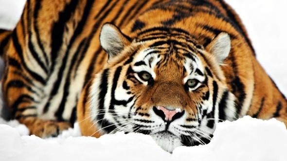 snow-wallpapers-tiger-snow-wallpaper-34138