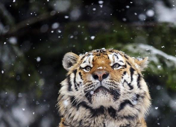 tiger-snow_1808771i